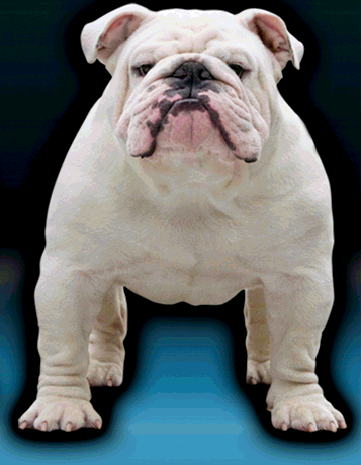 english bulldog puppies michigan